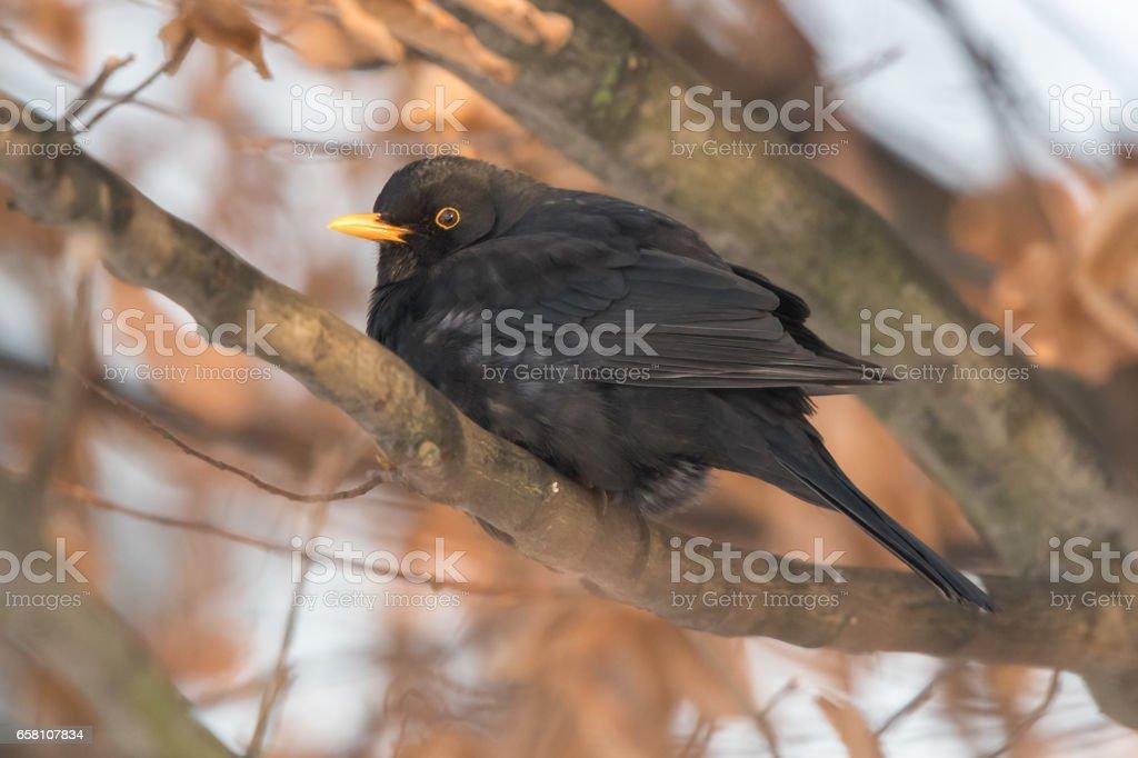 Common blackbird royalty-free stock photo