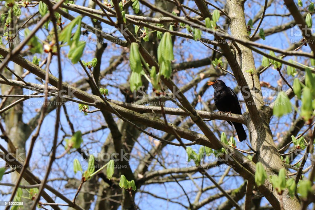 Common blackbird seating on horse chestnut tree branch. stock photo
