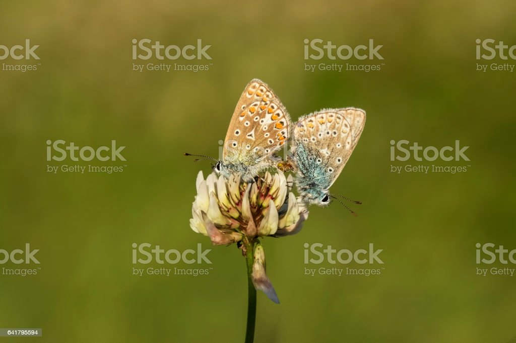 Common blue butterflies couple mating stock photo