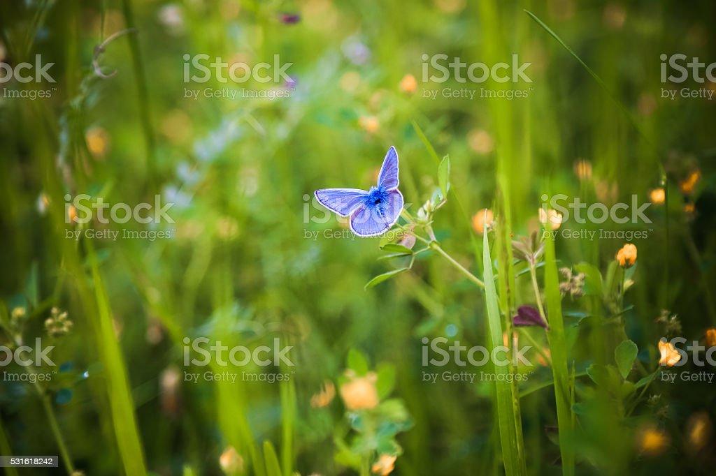 Mariposa azul común Nectaring (Polyommatus icarus) en flor silvestre - foto de stock