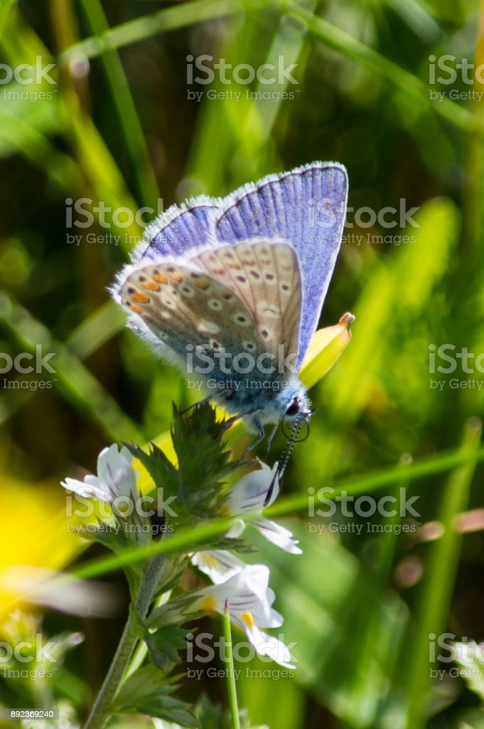 Common Blue butterfly on Eyebright stock photo