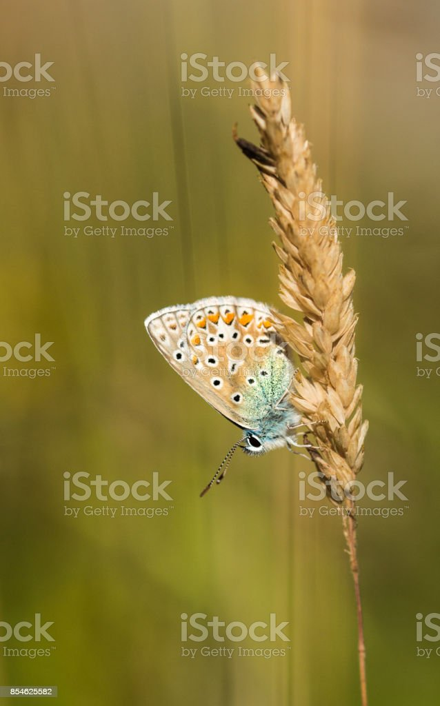 Common Blue Butterfly on Grass stock photo