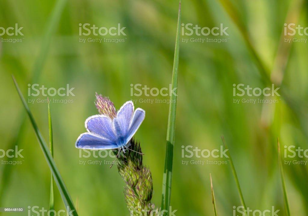 Papillon bleu commun (polyommatus icarus) perché dans Prairie - Photo de Aile d'animal libre de droits