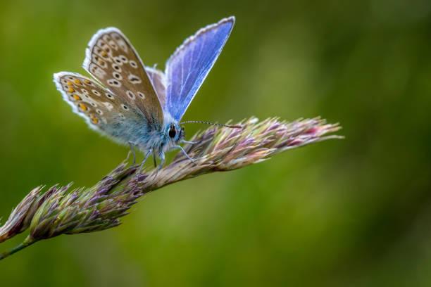 Common blue butterfly picture id1301432547?b=1&k=6&m=1301432547&s=612x612&w=0&h=hytfdwqc1iyyitr13lekke r1rwe9z axqwo40qoav0=