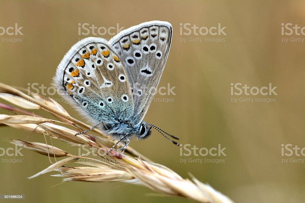 Common blue butterfly (Polyommatus icarus) stock photo