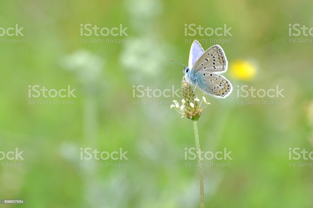 Common Blue butterfly - polyommatus icarus. stock photo