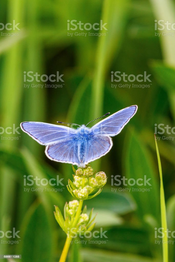 Common blue butterfly with wings on a flower royalty-free stock photo