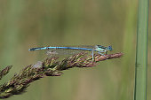 Common Blue Damselfly (Enallagma cyathigerum)  sits on a grass by lake in summer morning