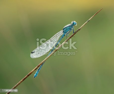 A medium-small damselfly. It can be distinguished from other blue damselflies by the thick blue stripe on its thorax. The other common and similar damselfly, the Azure, has a much thinner stripe.