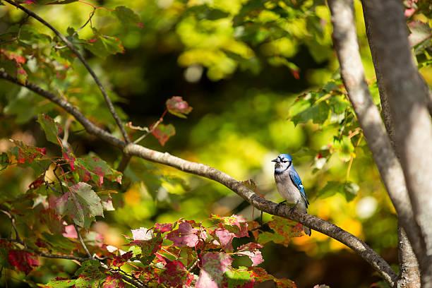 Common blue jay perché sur une branche d'arbre - Photo