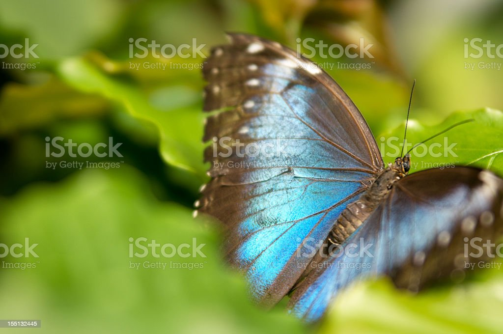 Common blue Morpho butterfly in leaves. stock photo