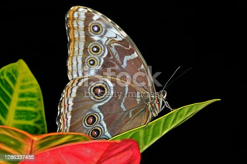 Common blue Morpho butterfly, (Morpho peleides), perched on leaf