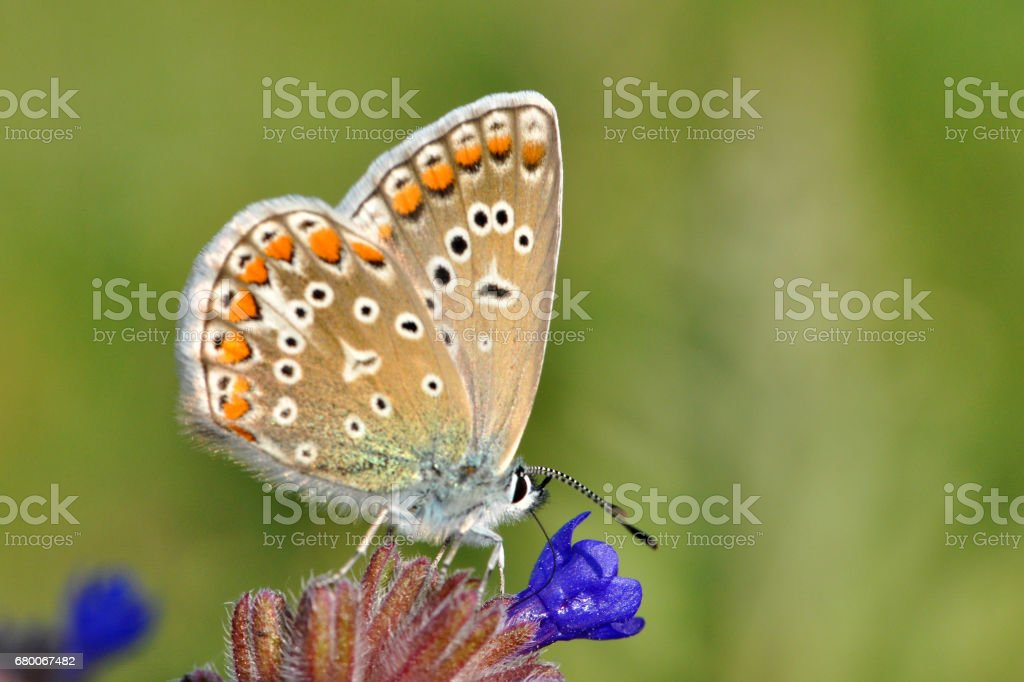 Common Blue or Polyommatus icarus, stock photo