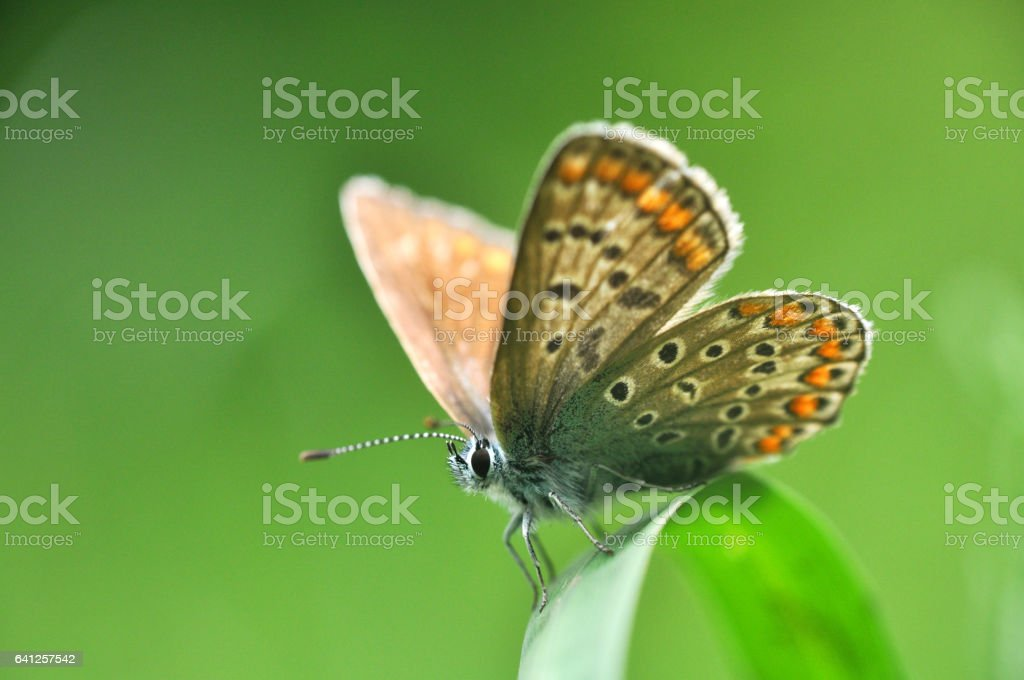 Common Blue stock photo