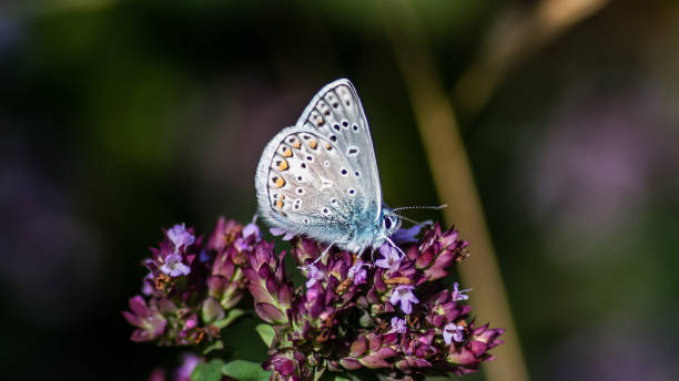 Common Blue showing the underside while perching on the oregano stock photo