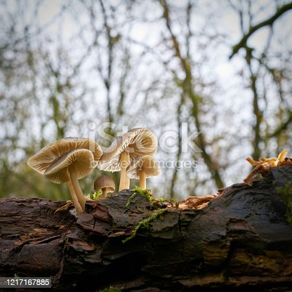 common bonnet (Mycena galericulata) on a dead tree trunk in the forest