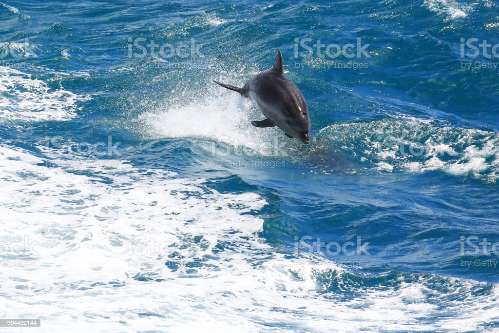 Golfinho-comum saltando em Paihia, Baía das ilhas, Nova Zelândia - Foto de stock de Azul royalty-free
