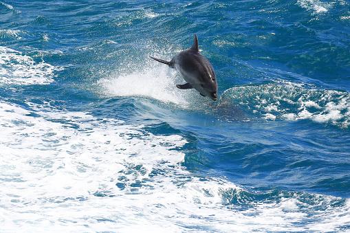 Foto de Golfinhocomum Saltando Em Paihia Baía Das Ilhas Nova Zelândia e mais fotos de stock de Azul