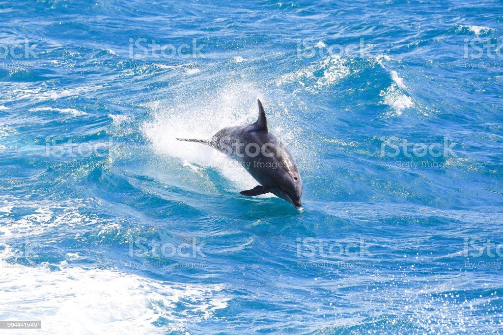 Bottlenose dolfijn springen in Paihia, Bay of Islands, Nieuw-Zeeland - Royalty-free 21e eeuw Stockfoto