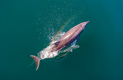 Common Bottlenose Dolphin; Tursiops truncatus; Baja California Sur, Sea of Cortez