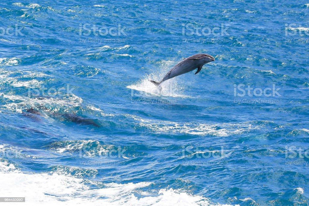 Comum golfinhos pulando em Paihia, Baía das ilhas, Nova Zelândia - Foto de stock de Azul royalty-free