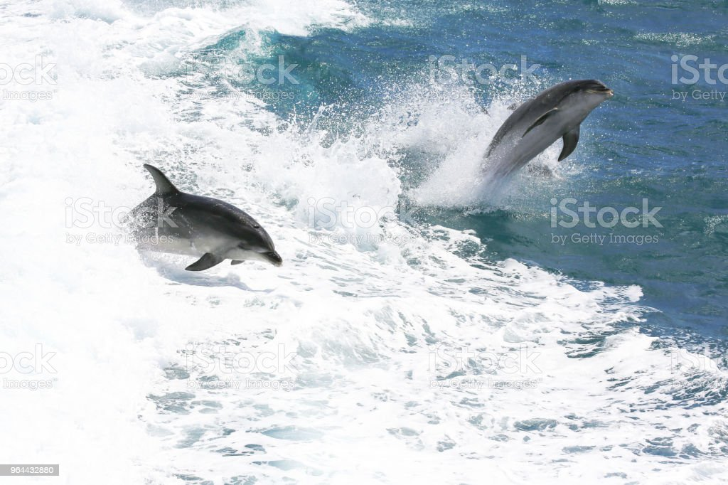 Common bottlenose dolphins jumping in Paihia, Bay of Islands, New Zealand - Royalty-free 21st Century Stock Photo