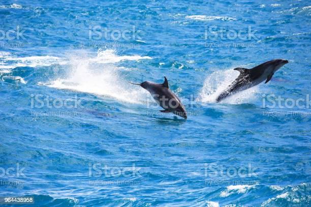 Foto de Comum Golfinhos Pulando Em Paihia Baía Das Ilhas Nova Zelândia e mais fotos de stock de Azul