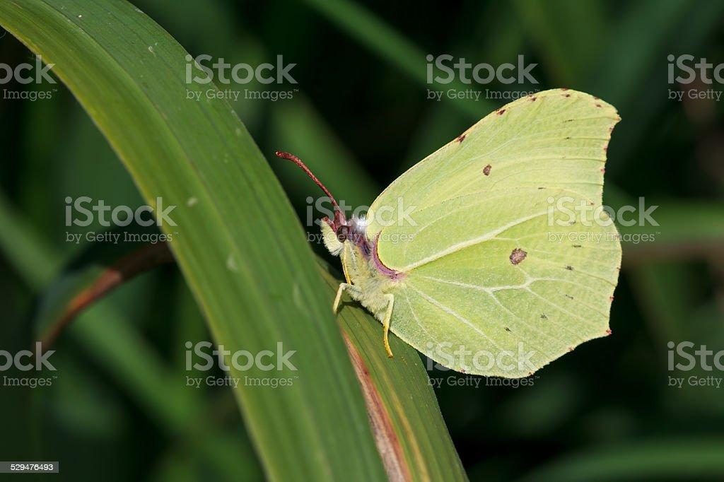 Common Brimstone Butterfly stock photo
