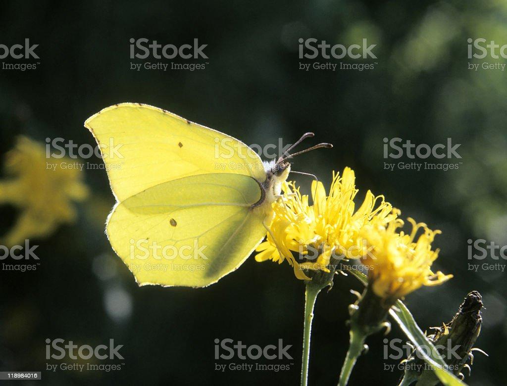 A common brimstone eating nectar stock photo