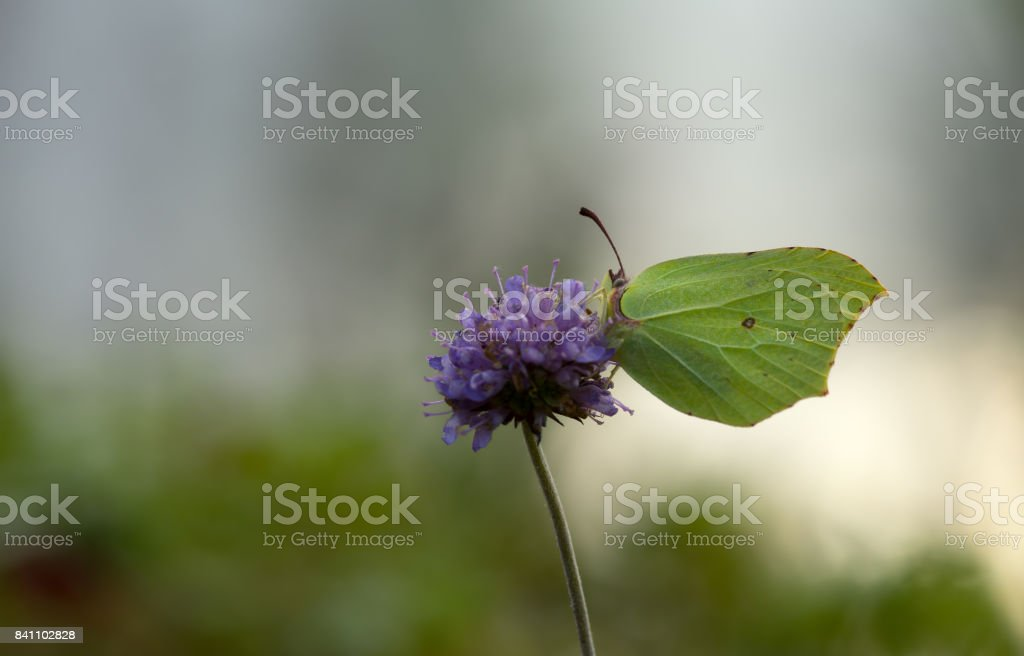 Common brimstone, Gonepteryx rhamni feeding on devil's-bit scabious, Succisa pratensis stock photo