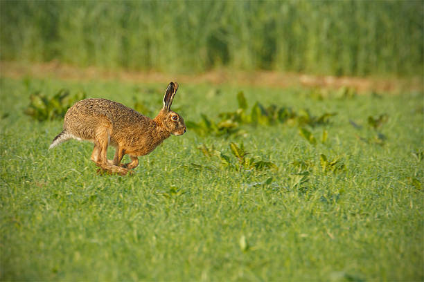 Common brown hare running through lush green field stock photo