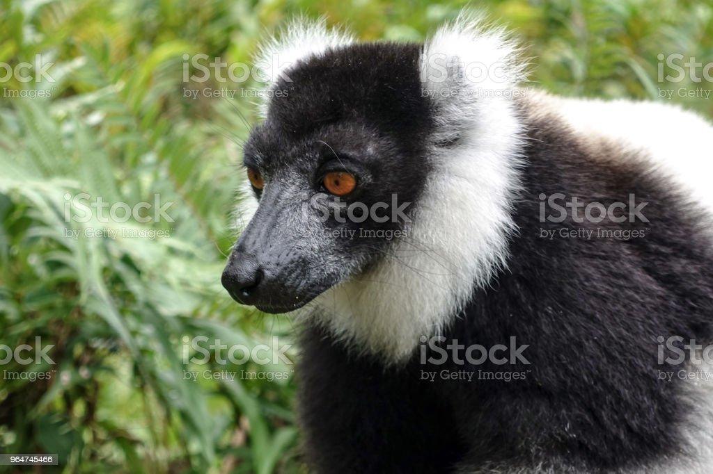 Common Brown Lemur (Eulemur fulvus fulvus). Antananarivo Lemur Park, Madagascar. royalty-free stock photo