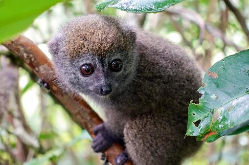 Common Brown Lemur Antananarivo Lemur Park Madagascar Stock Photo & More Pictures of Animal