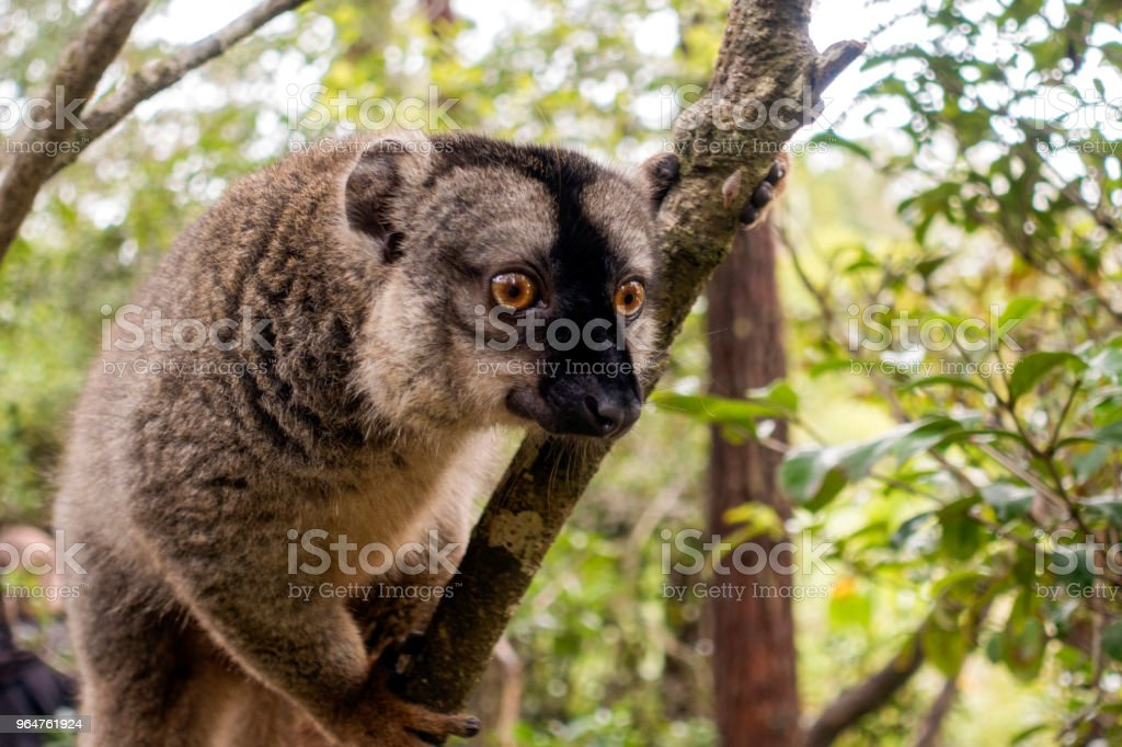 Common Brown Lemur (Eulemur fulvus fulvus). Antananarivo Lemur Park, Madagascar. royalty-free stock photo