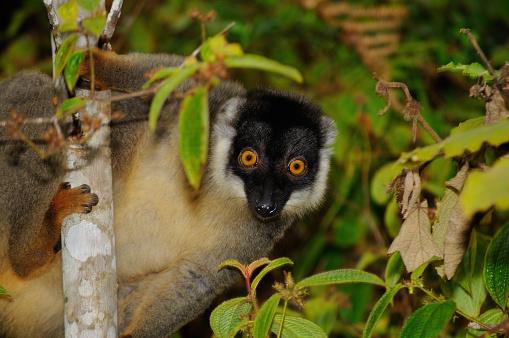 Common Brown Lemur Eulemur Fulvus In Their Natural Habitat ...