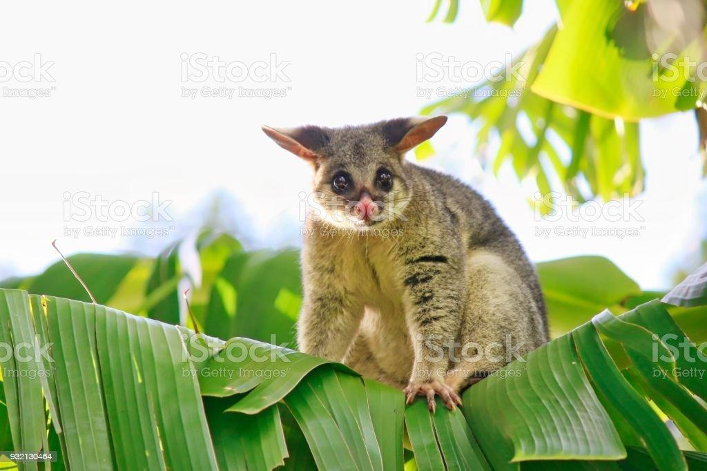 Common Brushtail Possum On Banana Tree stock photo