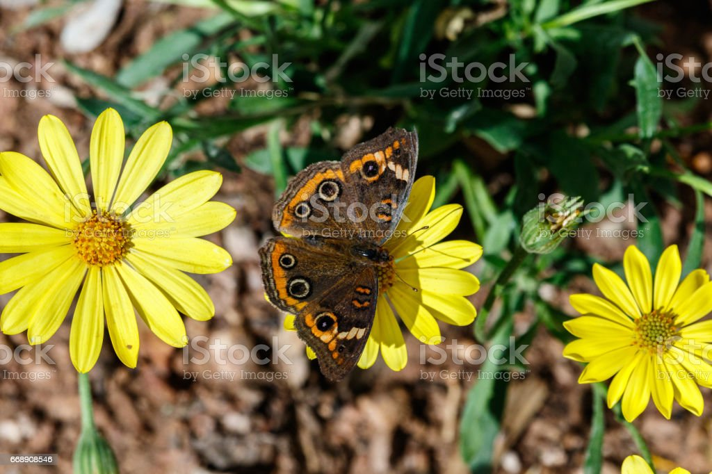 Common Buckeye butterfly on a line of yellow flowers stock photo