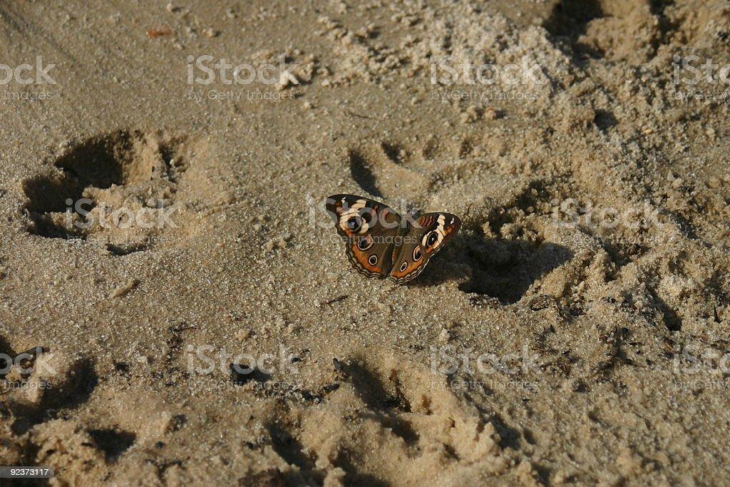 Common Buckeye Butterfly royalty-free stock photo