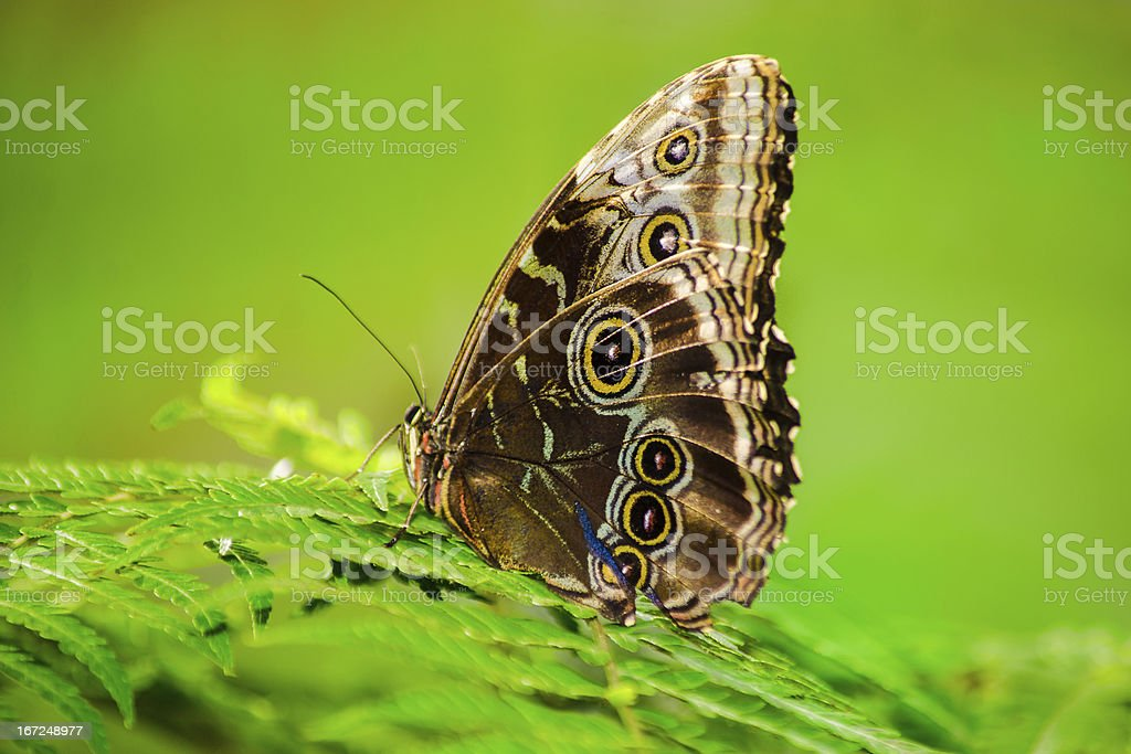 Common Buckeyed Butterfly royalty-free stock photo