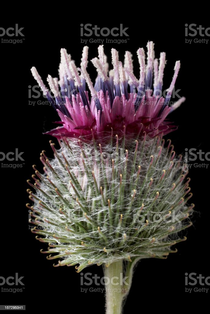 common burdock flowering head-Asteraceae(sunflower family) stock photo