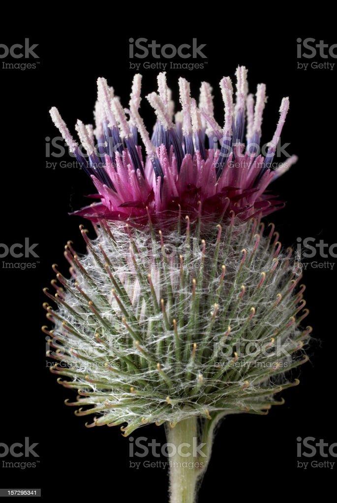 common burdock fiore Girasole testa di Asteraceae (Famiglia - foto stock