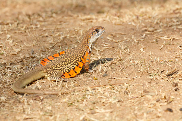 Common butterfly lizard stock photo