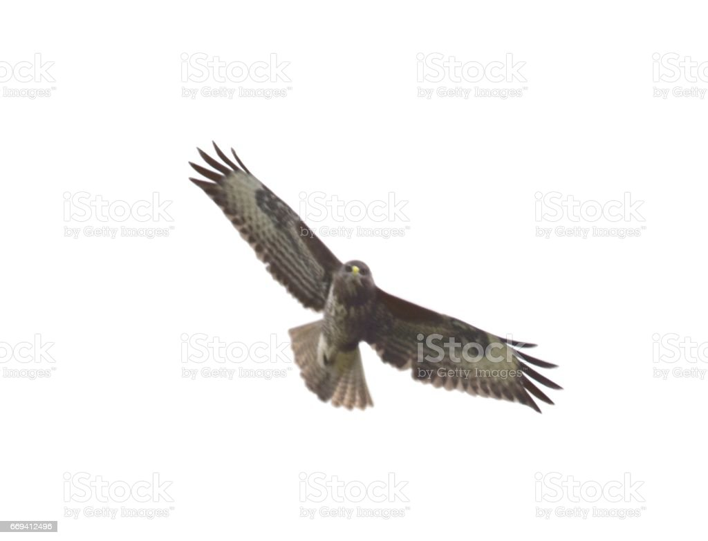 common buzzard bird in flight flying in the sky foto