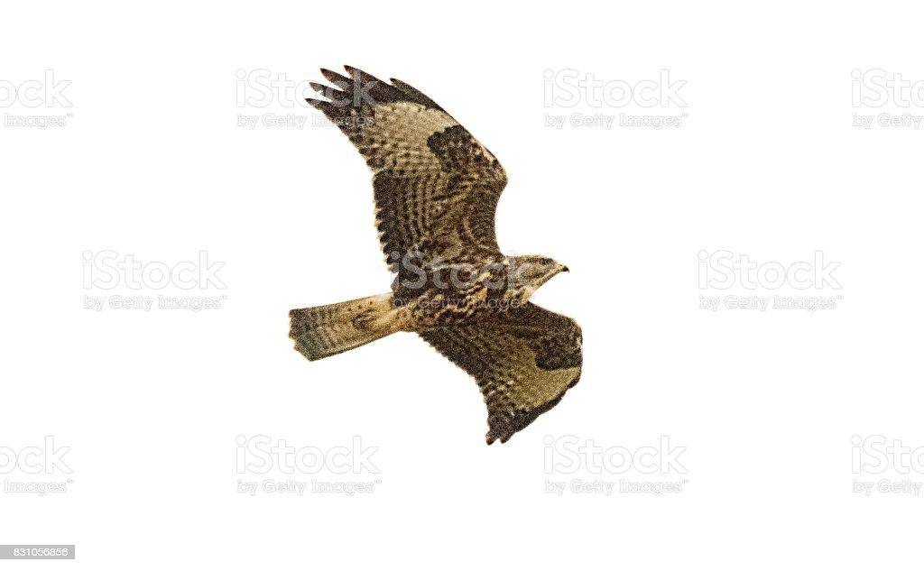 gemeenschappelijke buzzard vogel in vlucht vliegen in de lucht foto