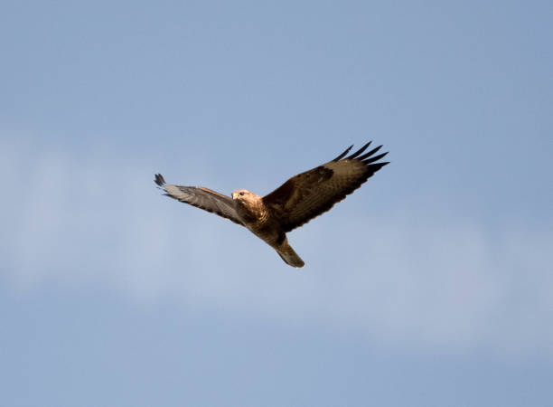 Gemeenschappelijke Buizerd-Buteo buteo aanboord vliegen foto