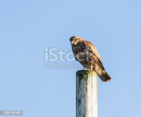 A Common Buzzard on a telegraph pole against a clear, blue sky with copyspace. Photographed in North Ayrshire, Scotland, UK.