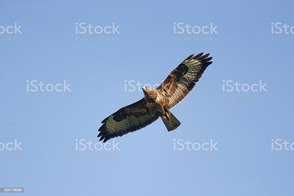 Common buzzard, Buteo buteo foto
