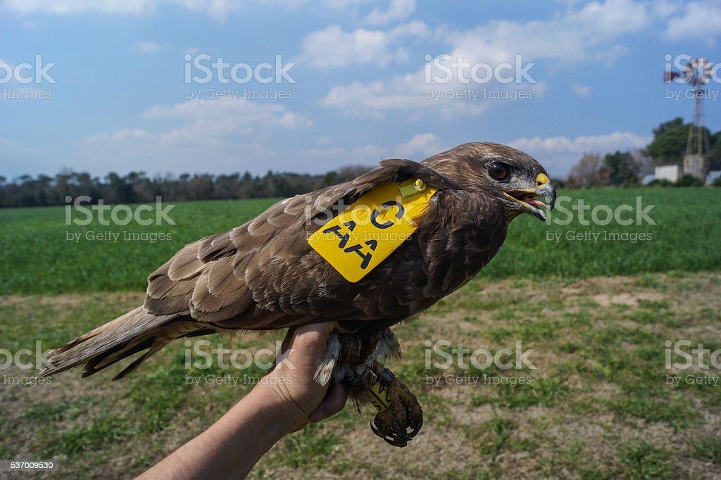 Common Buzzard, Buteo buteo, Wing Bands stock photo