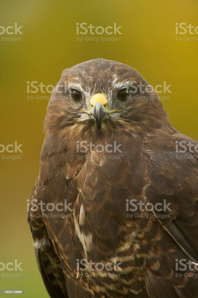 Common Buzzard (Buteo buteo) close up portrait foto