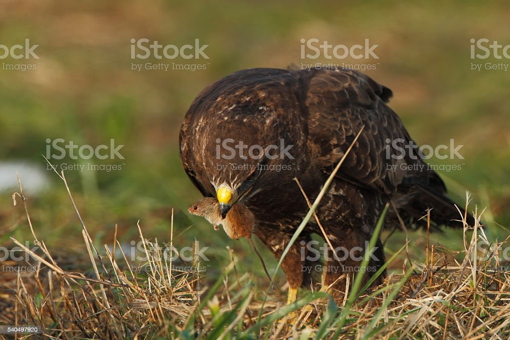 Common Buzzard (Buteo buteo) eating a mouse, the Netherlands stock photo